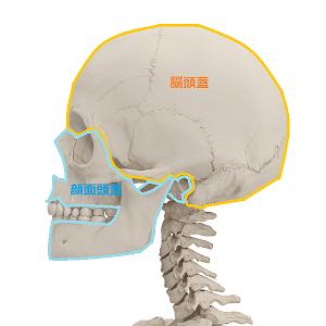 脳頭蓋と顔面頭蓋の説明