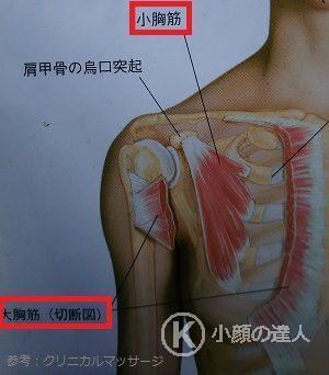 胸の筋肉の画像