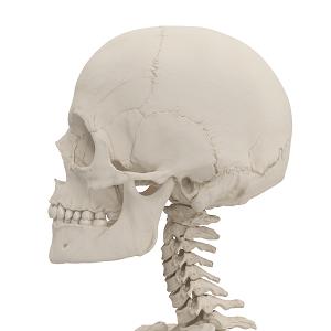 頭蓋骨と縫合線の画像