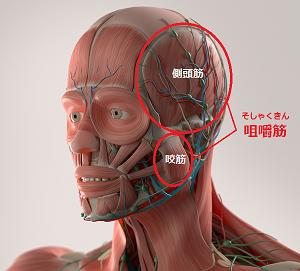 顔の筋肉(咀嚼筋)