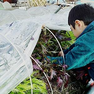 無農薬野菜を収穫する息子