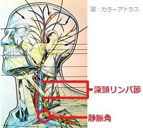 深頸リンパ節と静脈角の画像