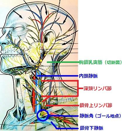 深頸リンパ節の画像