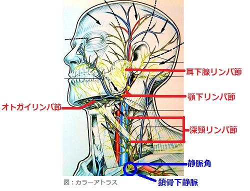 顔と首のリンパの流れの画像