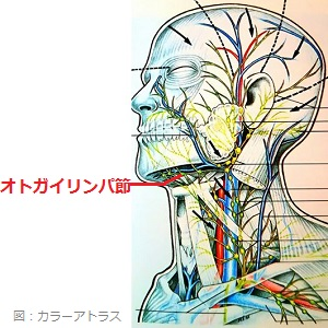 オトガイリンパ節の画像