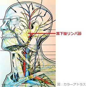 耳下腺リンパ節の画像