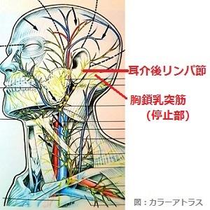 耳介後リンパ節の画像