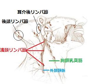 浅頸リンパ節の画像