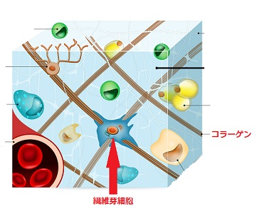 繊維芽細胞とコラーゲンの画像