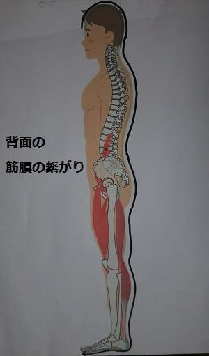 背面の筋膜の繋がり 画像